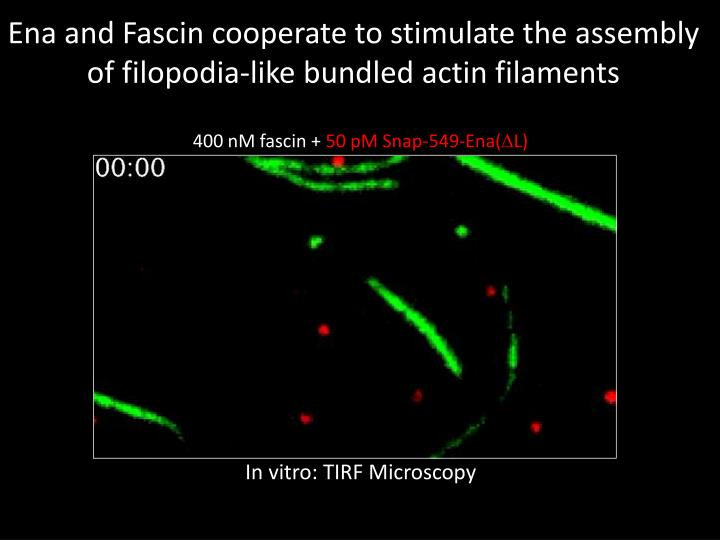 Ena and Fascin cooperate to stimulate the assembly of filopodia-like bundled actin filaments