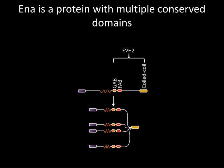 Ena is a protein with multiple conserved domains