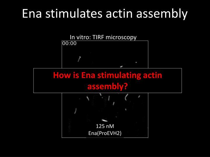 Ena stimulates actin assembly