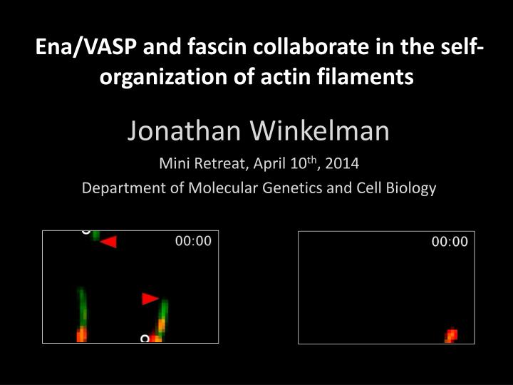 ena vasp and fascin collaborate in the self organization of actin filaments