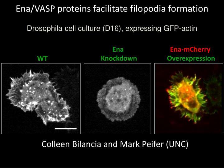 Ena/VASP proteins facilitate filopodia formation