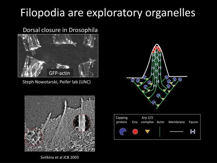 Filopodia are exploratory organelles