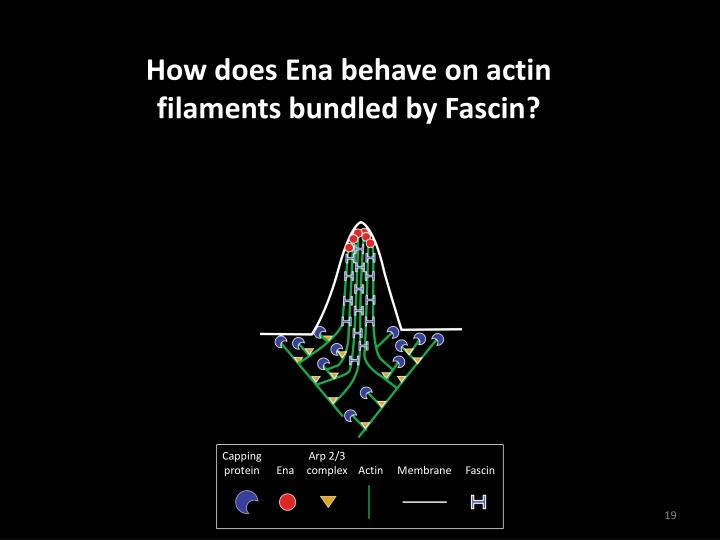 How does Ena behave on actin filaments bundled by Fascin?
