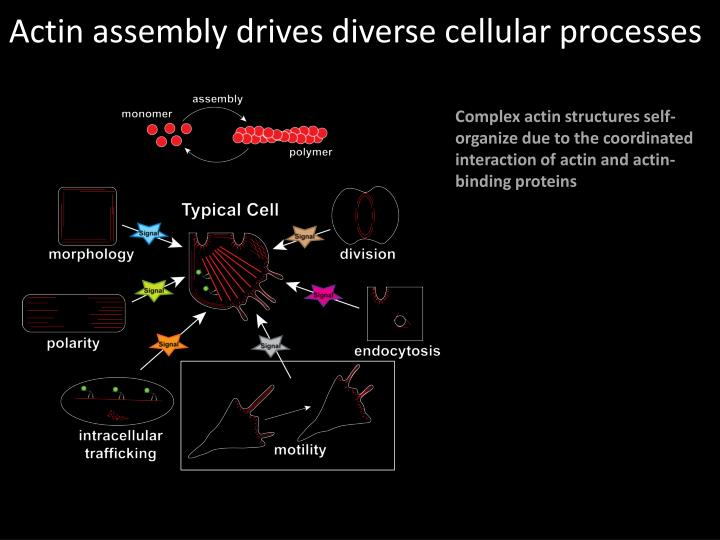 Actin assembly drives diverse cellular processes