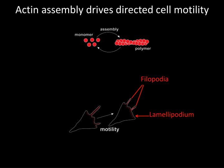 Actin assembly drives directed cell motility