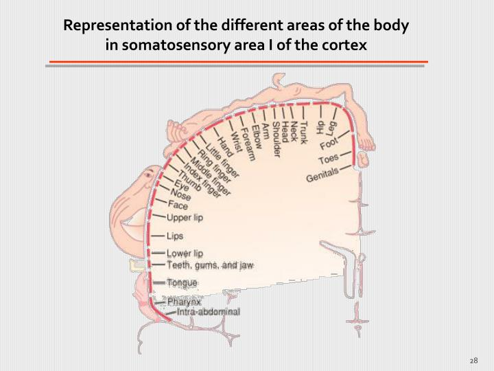 Representation of the different areas of the body in somatosensory area I of the cortex