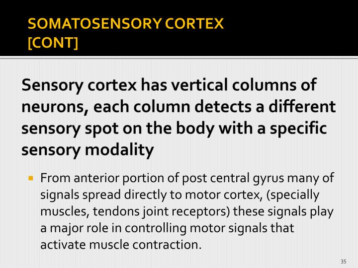 Sensory cortex has vertical columns of neurons, each column detects a different sensory spot on the body with a specific sensory modality