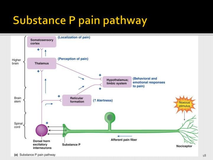 Substance P pain pathway