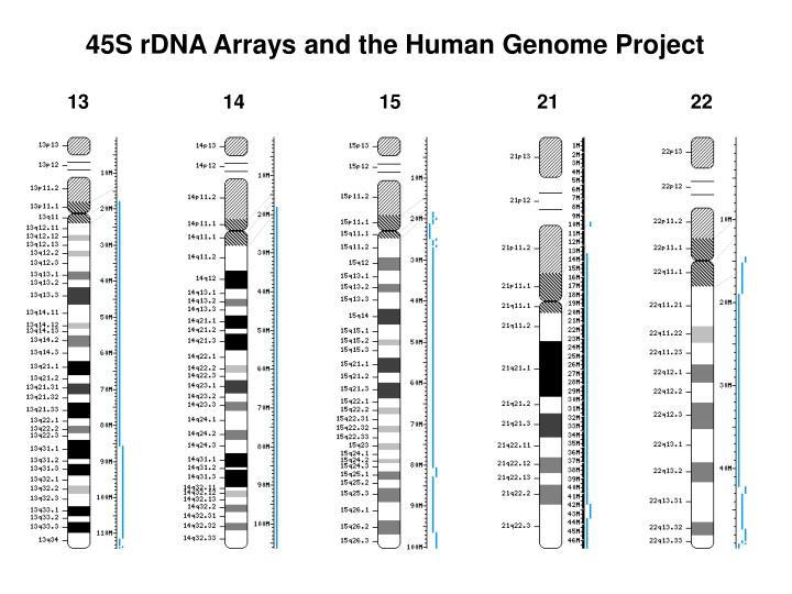 45S rDNA Arrays and the Human Genome Project