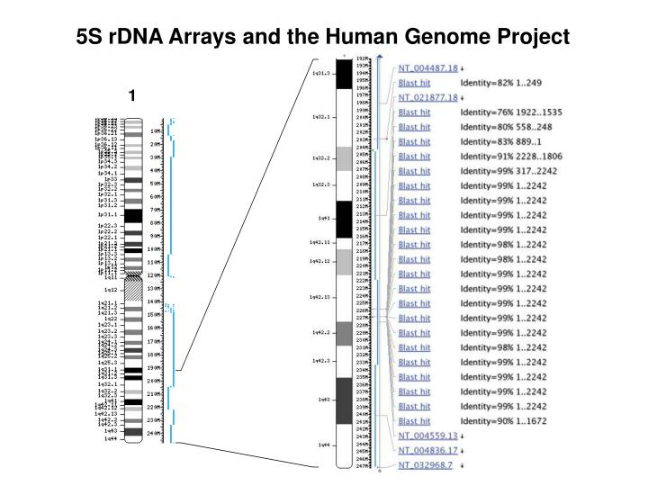 5S rDNA Arrays and the Human Genome Project