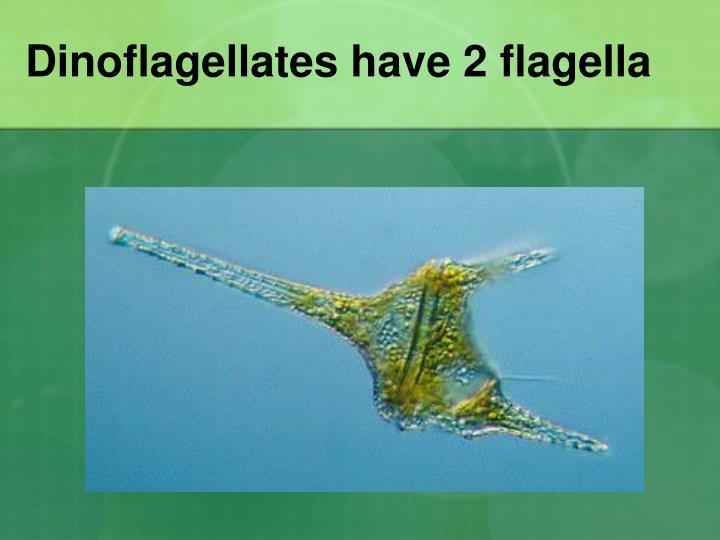 Dinoflagellates have 2 flagella