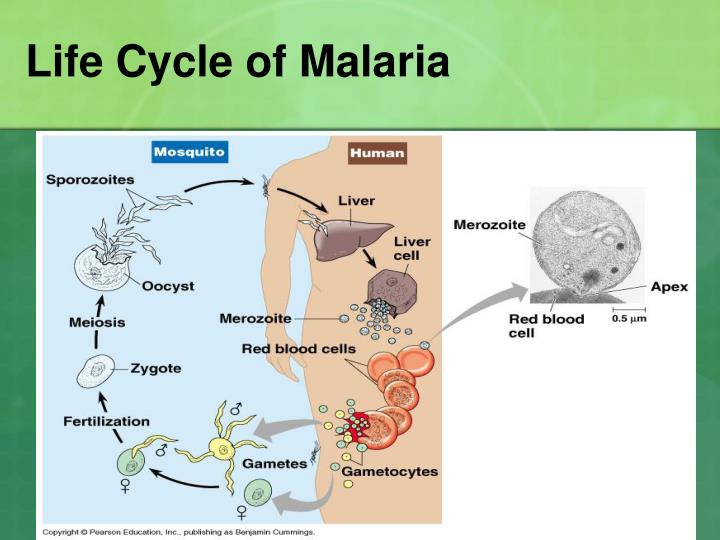 Life Cycle of Malaria