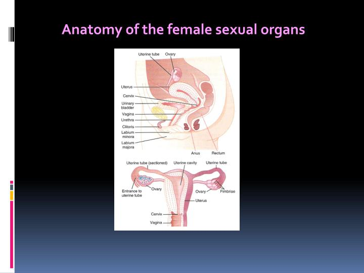Anatomy of the female sexual organs