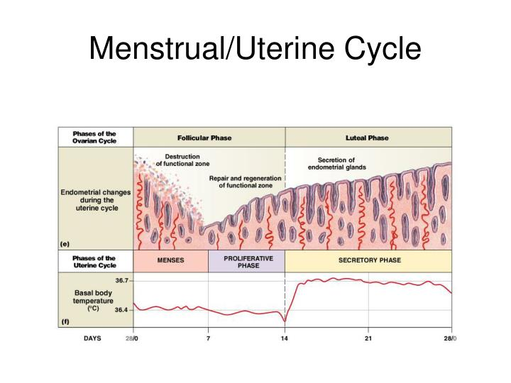 Menstrual/Uterine Cycle