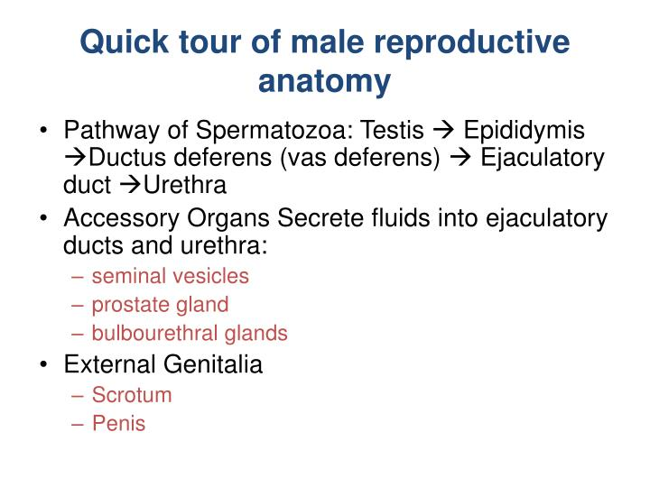 Quick tour of male reproductive anatomy