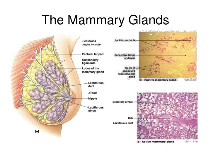 The Mammary Glands
