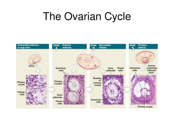 The Ovarian Cycle