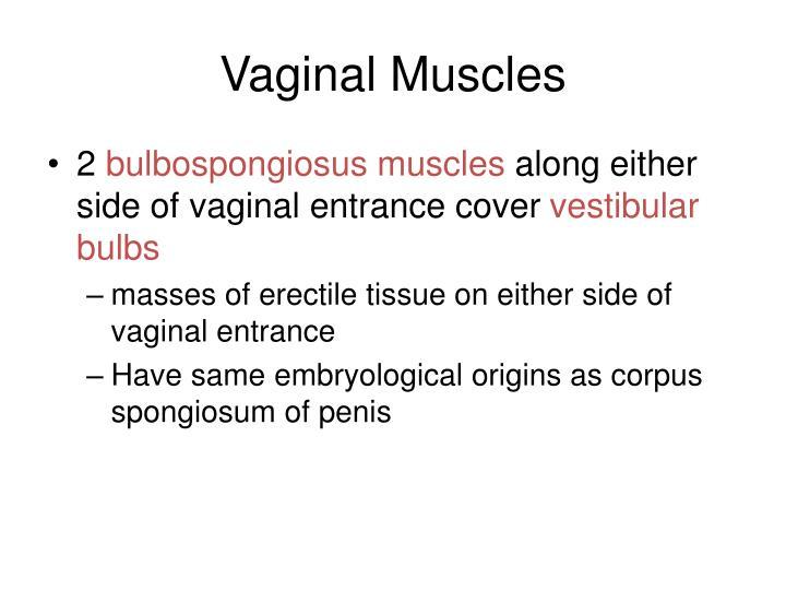 Vaginal Muscles