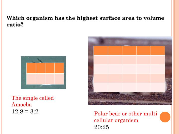Which organism has the highest surface area to volume ratio?