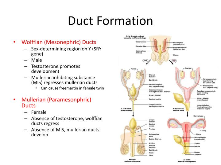 Duct Formation