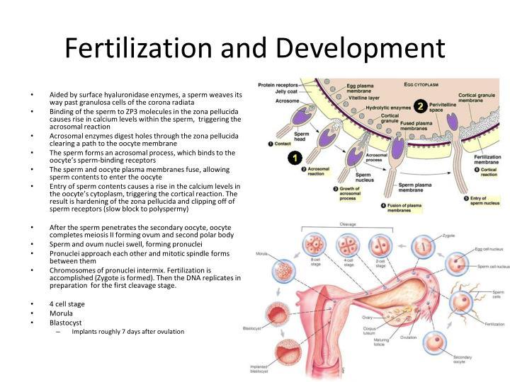 Fertilization and Development