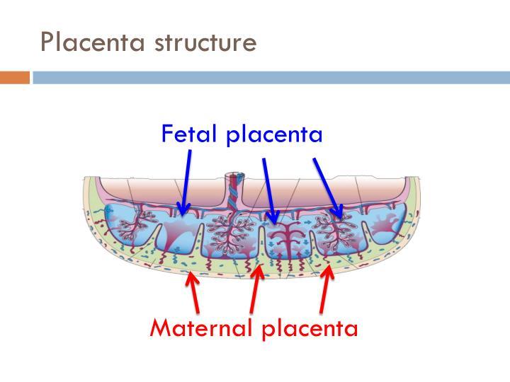 Placenta structure
