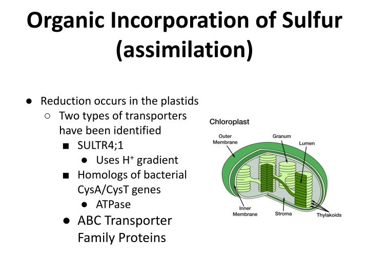 Organic Incorporation of Sulfur (assimilation)