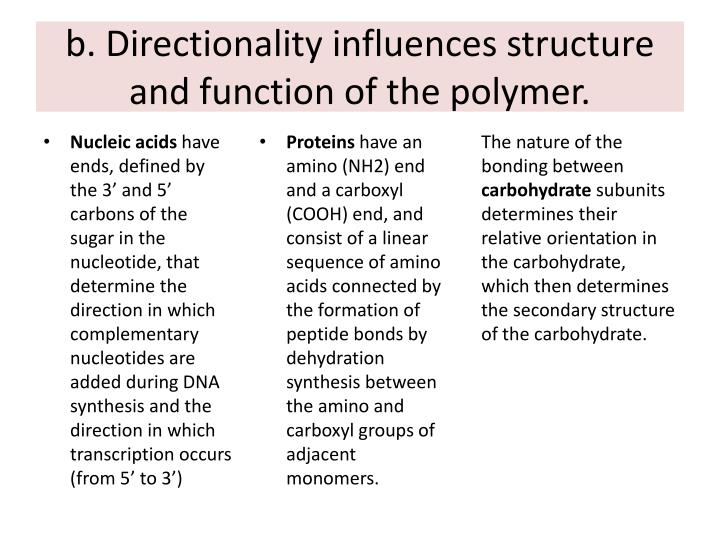 b. Directionality influences structure and function of the polymer.
