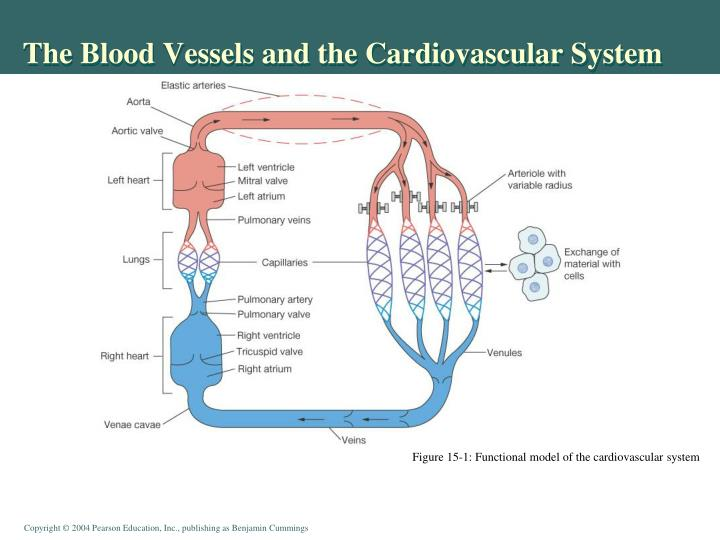 The Blood Vessels and the Cardiovascular System