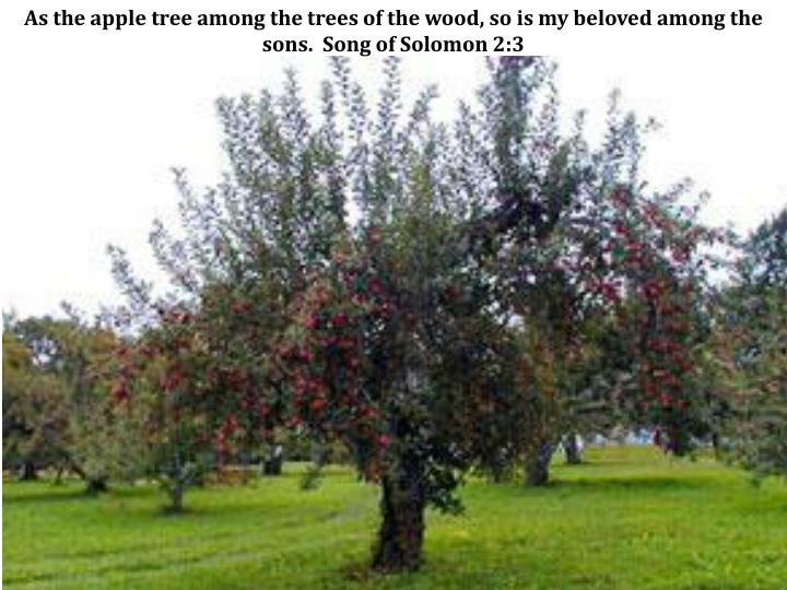 As the apple tree among the trees of the wood, so is my beloved among the sons.