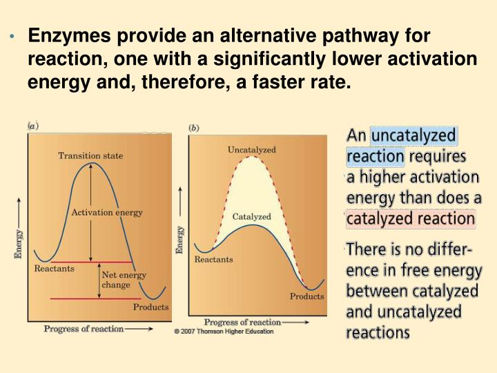 Enzymes provide an alternative pathway for reaction, one with a significantly lower activation energ...