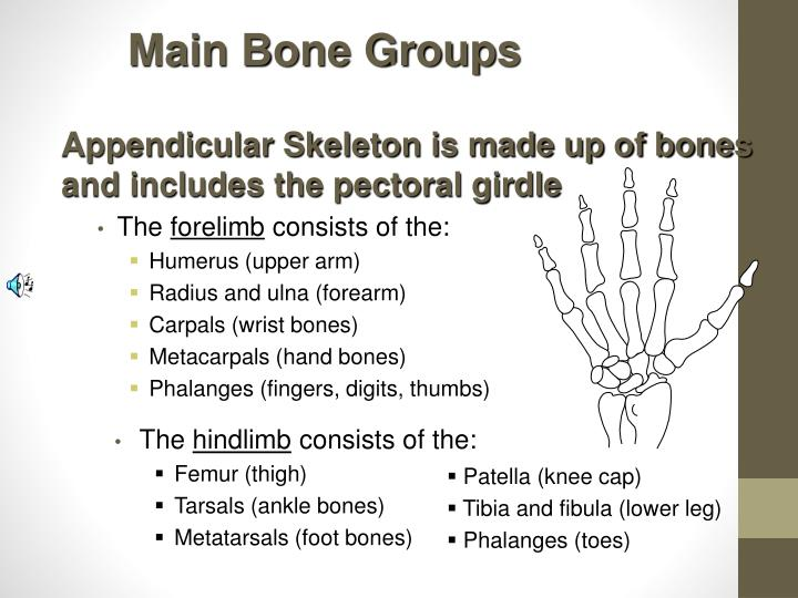 Main Bone Groups