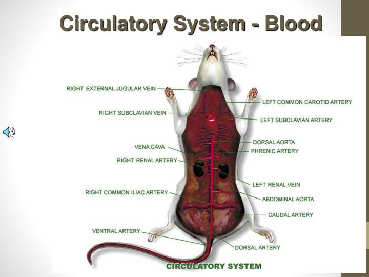 Circulatory System - Blood