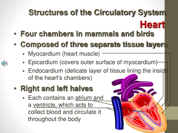 Structures of the Circulatory System