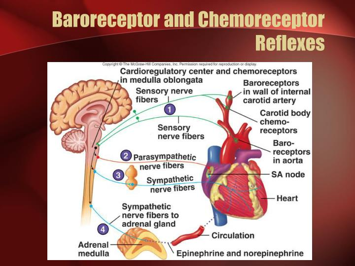 Baroreceptor and Chemoreceptor