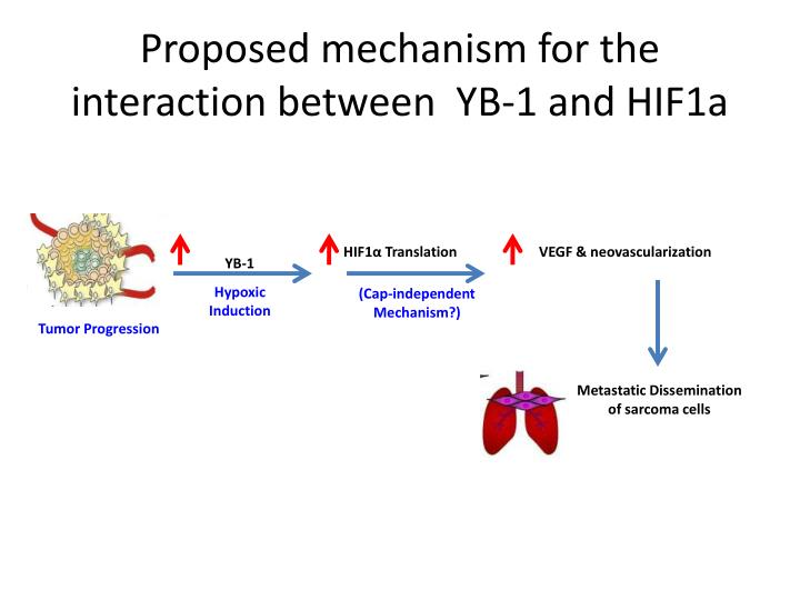 Proposed mechanism for the interaction between  YB-1 and HIF1a