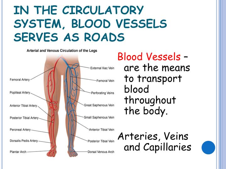 IN THE CIRCULATORY SYSTEM
