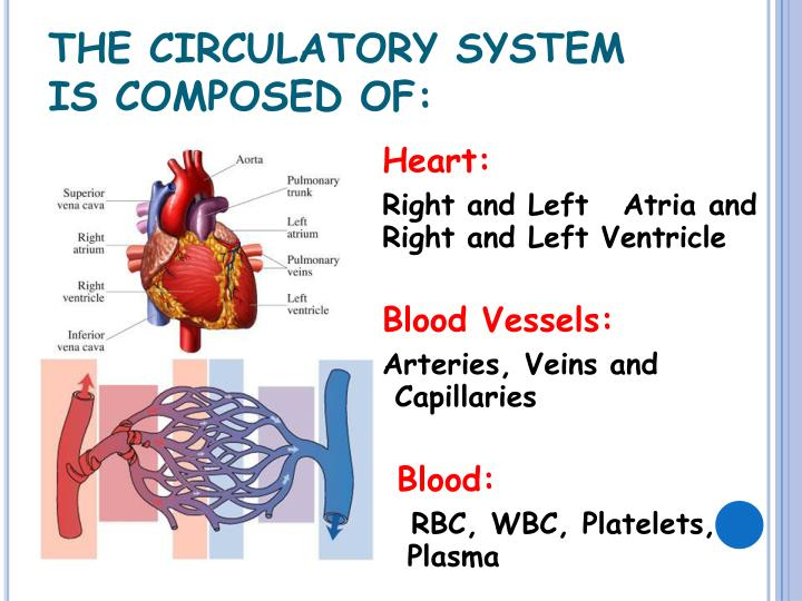 THE CIRCULATORY SYSTEM IS COMPOSED OF: