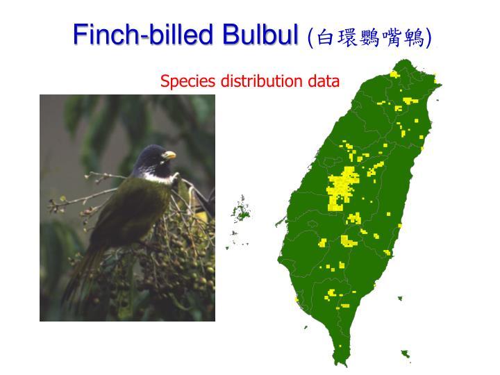Finch-billed Bulbul