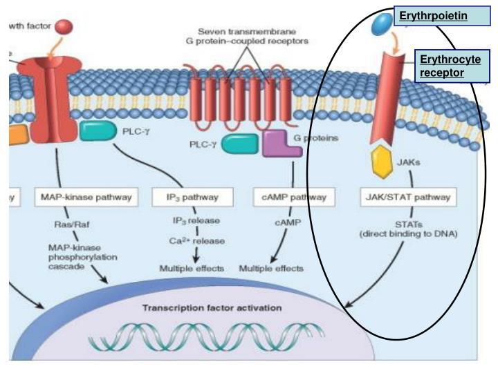 Erythrpoietin
