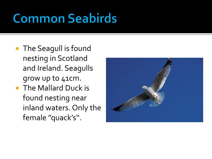 Common Seabirds
