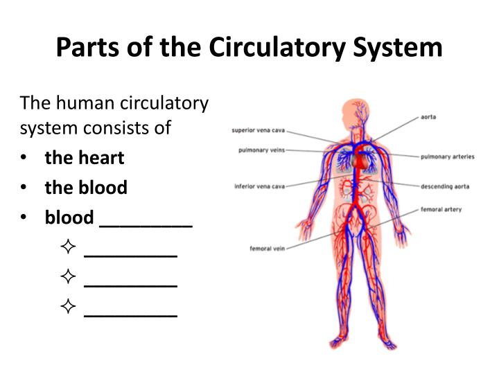 Parts of the Circulatory System