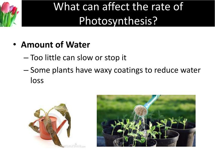 What can affect the rate of Photosynthesis?