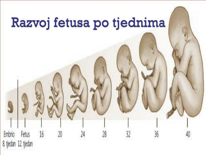 Razvoj fetusa po tjednima