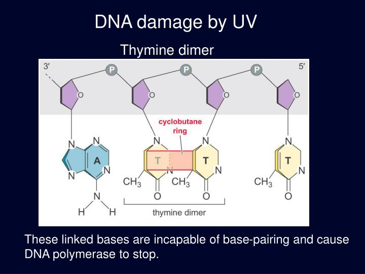 DNA damage by UV