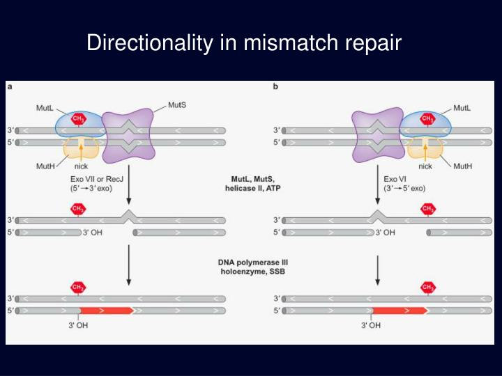 Directionality in mismatch repair