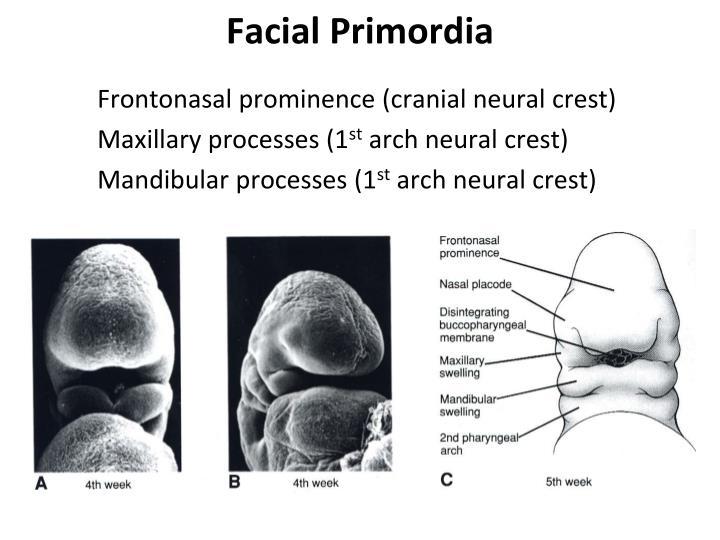Frontonasal prominence (cranial neural crest)