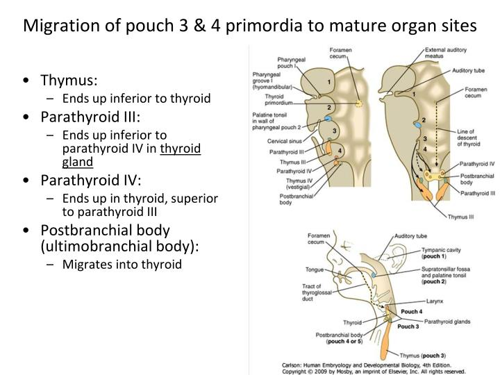 Migration of pouch 3 & 4 primordia to mature organ sites