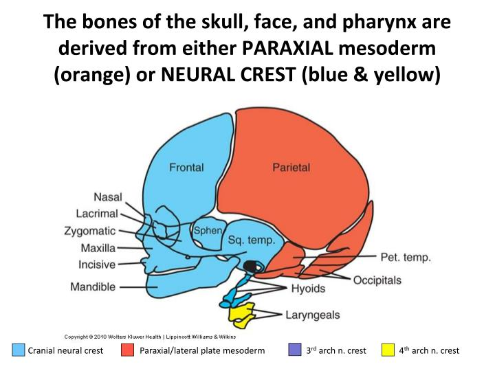 Cranial neural crest         Paraxial/lateral plate mesoderm       3