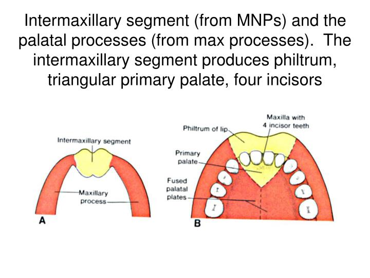 Intermaxillary segment (from MNPs) and the palatal processes (from max processes).  The intermaxillary segment produces philtrum, triangular primary palate, four incisors